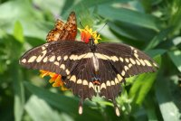 Papilio butterfly; comments:6
