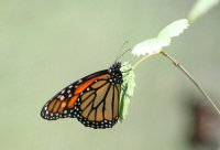 The Monarch butterfly 2; comments:7