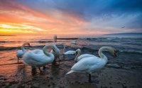 Варненските лебеди Коментари: 13 Гласували: 30