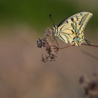 Голям полумесец (Papilio machaon) Коментари: 25 Гласували: 45