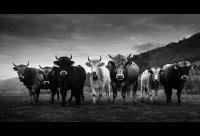 Бандата на плезещитесе крави ; Коментари:17
