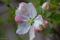 Ябълков цвят ; Коментари:8