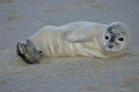 Тюленче на плажа ; Коментари:6