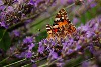Пеперуда; comments:6