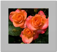 Три рози; comments:9