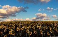 Облачно над слънчогледовата равнина ; Коментари:7