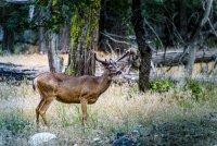 Черноопашат елен ; Коментари:3