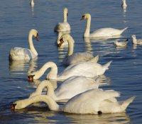 Лебеди 2 ; Коментари:7