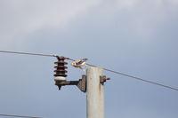 Черношипа ветрушка (falco tinnunculus); Коментари:1
