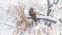 Горска ушата сова; comments:15