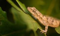 Балкански гекон (Cyrtopodion kotschyi); comments:24