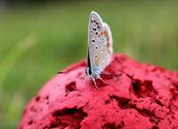 Пеперуда седнала на топка; Коментари:2