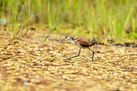 African Jacana; comments:5