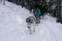 sled dog; comments:6