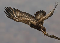 Скален орел; comments:35