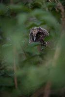 Малка ушата совичка (Asio otus); comments:9