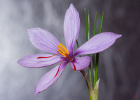 Crocus sativus; comments:10