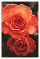 Рози; comments:22