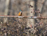 Земеродно рибарче /Kingfisher/, ез. Керкини; comments:5