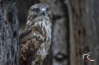 Скален орел; comments:6