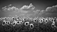 Слънчо гледа слънчогледа :); comments:7