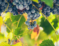Red wine grapes; comments:6