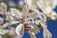 Магнолия (Magnolia sp.); comments:37