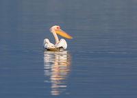 Розов пеликан; comments:21