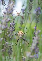 Двойка паяци (Argiope lobata); comments:14