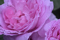 pink rose III; comments:6