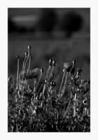 Макове в черно и бяло...; comments:14
