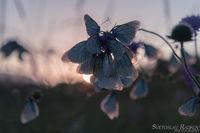 Овощни пеперуди; comments:2