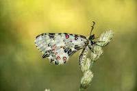 Пеперуден фотомодел; comments:8