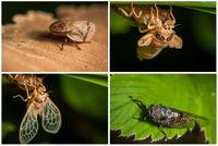 Жизнен цикъл на цикада; comments:4