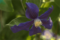 ... Клематис (Clematis); comments:12