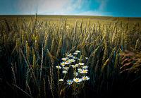 Сред житото; Няма коментари