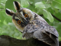 Asio otus - Горска ушата сова; comments:11