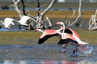 Розово фламинго; comments:3