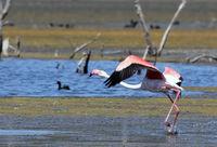 Розово фламинго; comments:4