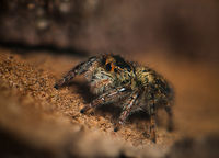 Jumping spider; comments:4