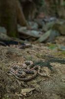 Леопардов смок (Zamenis situla); comments:9
