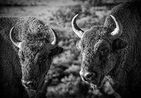 Bison bonasus; comments:5