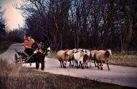 Овчар от Село Иваново!; comments:8