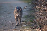 Дива котка (Felis silvestris); comments:5