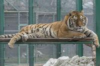 Тигър...; Няма коментари