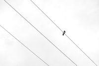 гълъб; Коментари:3