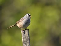 White-crowned sparrow (Zonotrichia leucophrys); comments:5