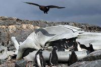 Антарктическа скуа; comments:6