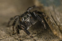 jumping spider; comments:7