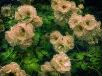 Бели рози; comments:1